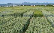 breedwheat