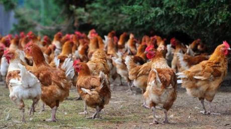 Un bilan positif pour les volailles fermières d'Auvergne