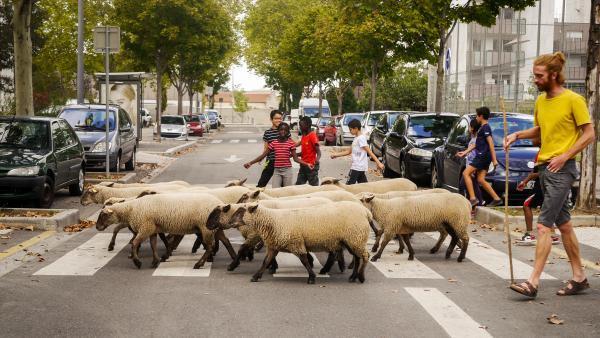 Le pâturage itinérant des moutons a lieu en ville, comme ici à Saint-Fons, dans le quartier de l'Arsenal.