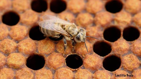 Avec BeeOmonitoring, les abeilles deviennent des vigies de l'environnement