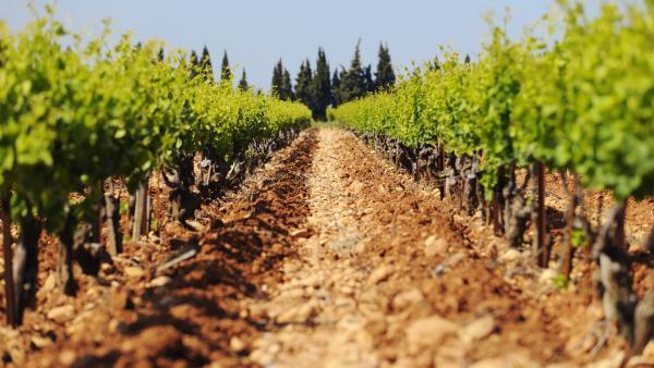Vignes valée du Rhône